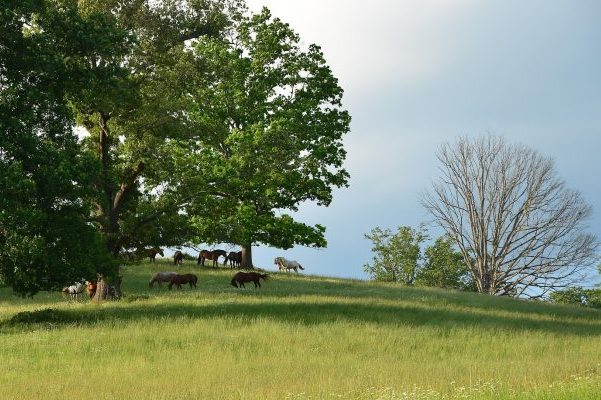 Asheville, NC Insurance Agency, several horses on a green, hilly pasture with large trees.