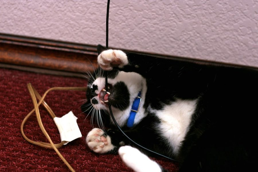 Black and white cat chewing on electric wiring.
