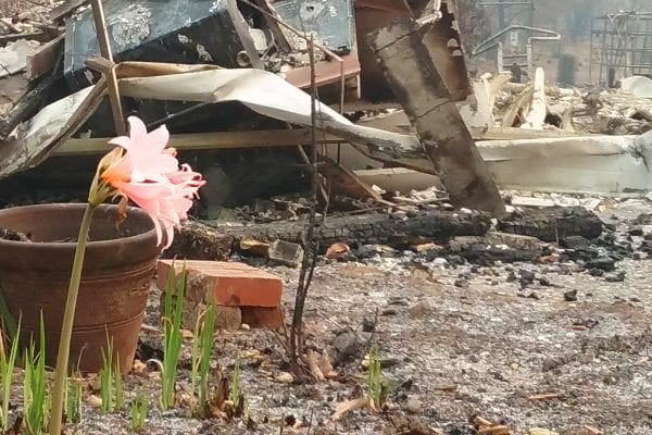 A pink amaryllis flower blooming among burned wreckage of the Kincade fire.