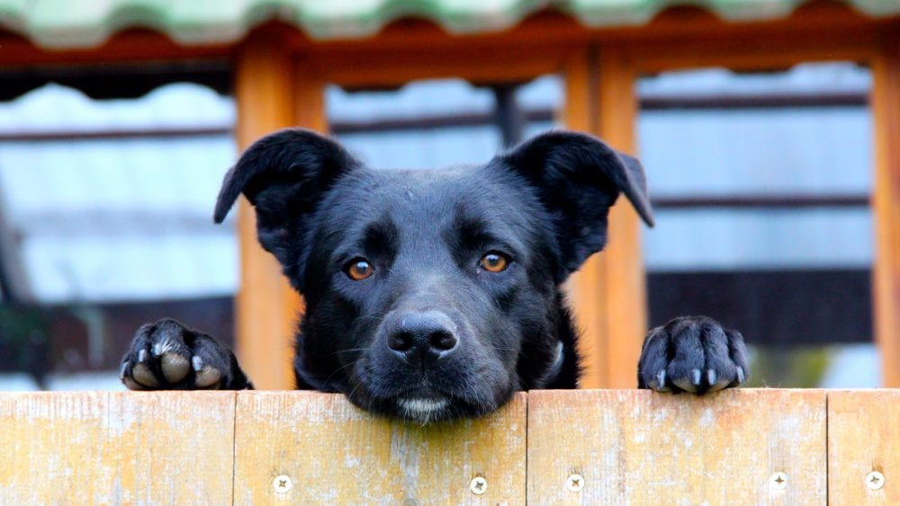 Black don looking over wooden fence, illustrating a home insurance policy exclusion.