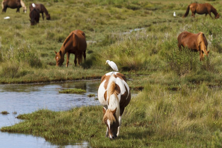 Ponies grazing near a creek at Chincoteague National Wildlife Refuge.