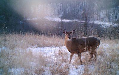 White tailed deer in snowy meadow.