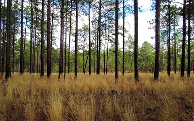 Pine trees with brown grass in foreground.